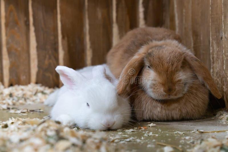 Due conigli bianchi e seduta rossa nella gabbia immagine stock libera da diritti