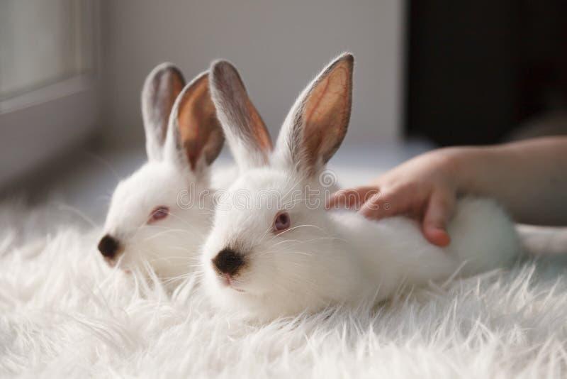 Due conigli bianchi svegli sul davanzale fotografie stock