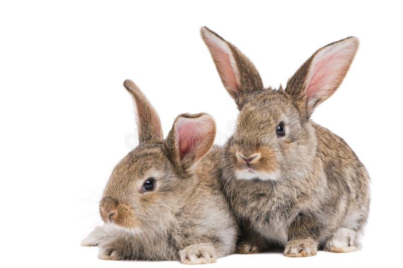 Due conigli del bambino isolati su bianco fotografie stock libere da diritti