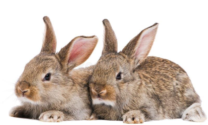 Due conigli del bambino isolati su bianco fotografia stock