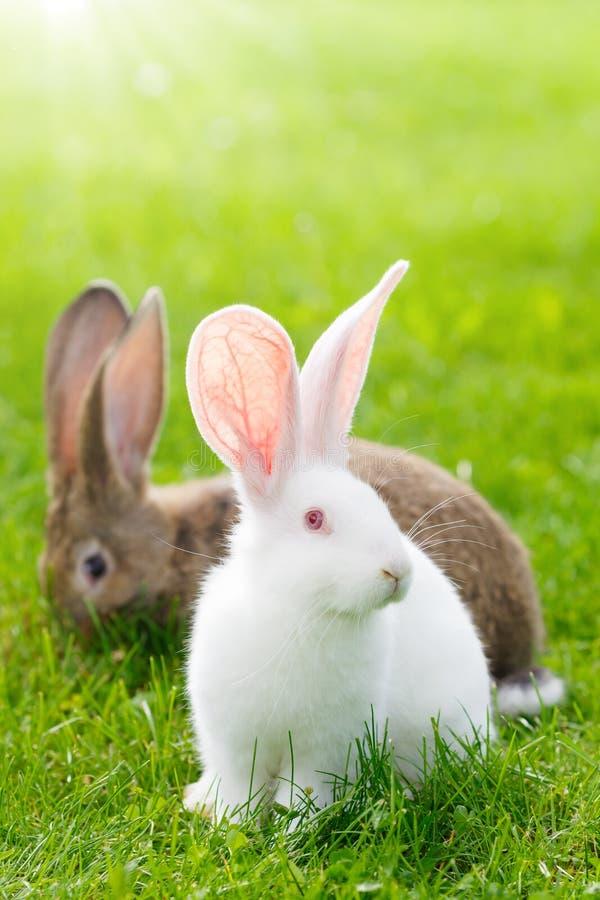 Due conigli in erba verde fotografie stock