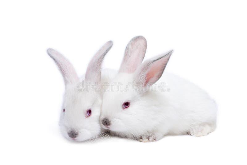 Due conigli isolati bianchi svegli del bambino immagine stock libera da diritti