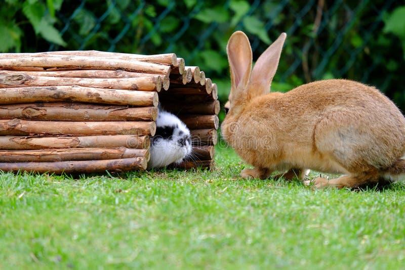Due conigli sull'erba verde nel giardino fotografie stock libere da diritti