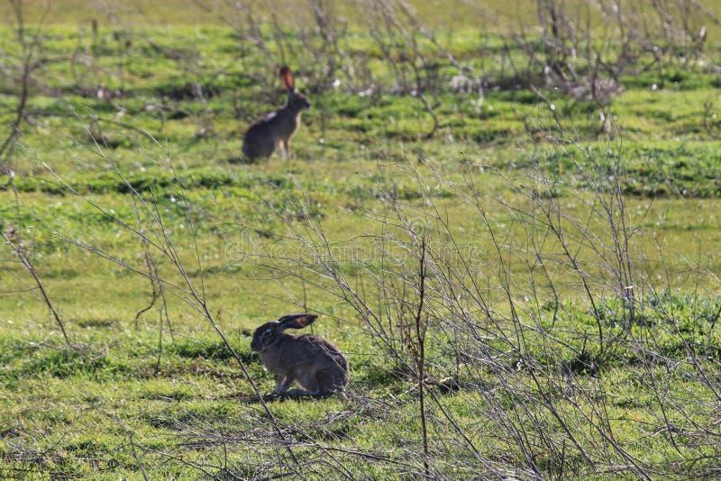 Due conigli in un campo immagini stock libere da diritti