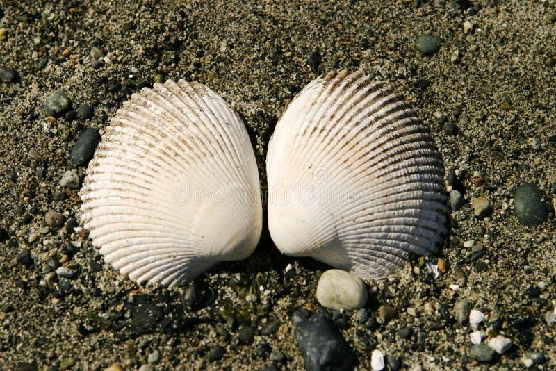 Due coperture del mollusco fotografie stock