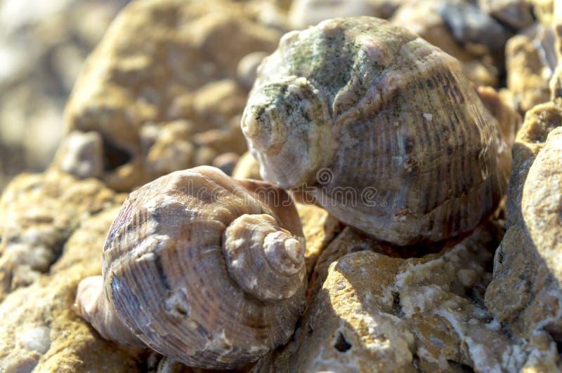 Due coperture del rapana venoso sulla spiaggia fra la sabbia e le pietre immagine stock