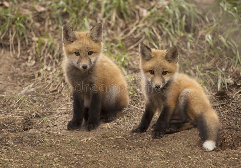 Due corredi della volpe rossa del bambino fuori della loro tana della foresta fotografia stock