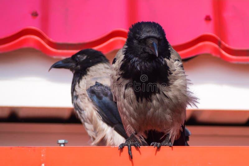 Due corvi fotografia stock libera da diritti