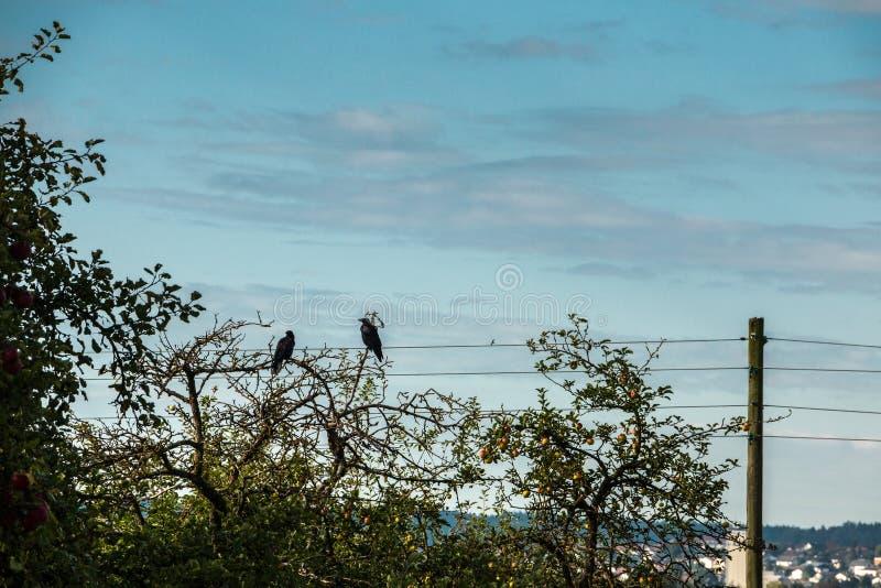 Due corvi su un albero immagine stock