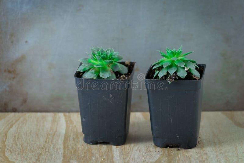 Due crassulacee verdi in contenitori conservati in vaso immagine stock