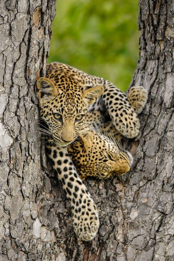Due cubs del leopardo fotografie stock libere da diritti