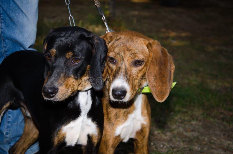 Due cuccioli fotografie stock