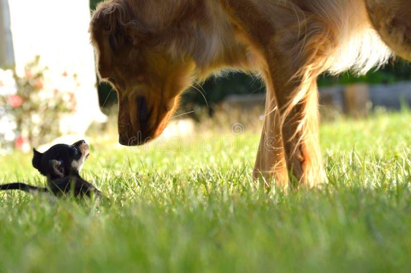 Due cuccioli che se lo esaminano fotografia stock libera da diritti