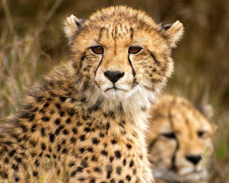 Due cuccioli del ghepardo in Phinda fotografia stock libera da diritti