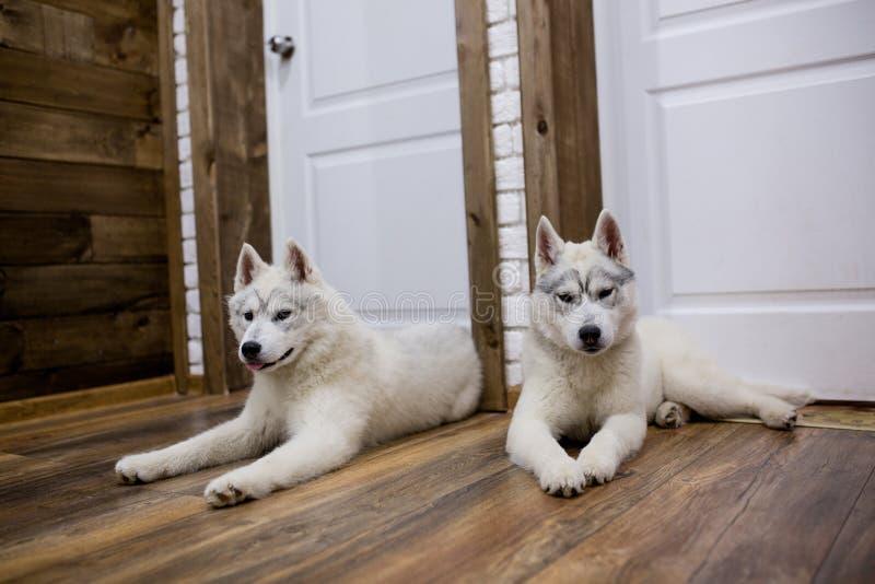 Due cuccioli del husky siberiano a casa si siedono e giocano stile di vita con il cane immagine stock