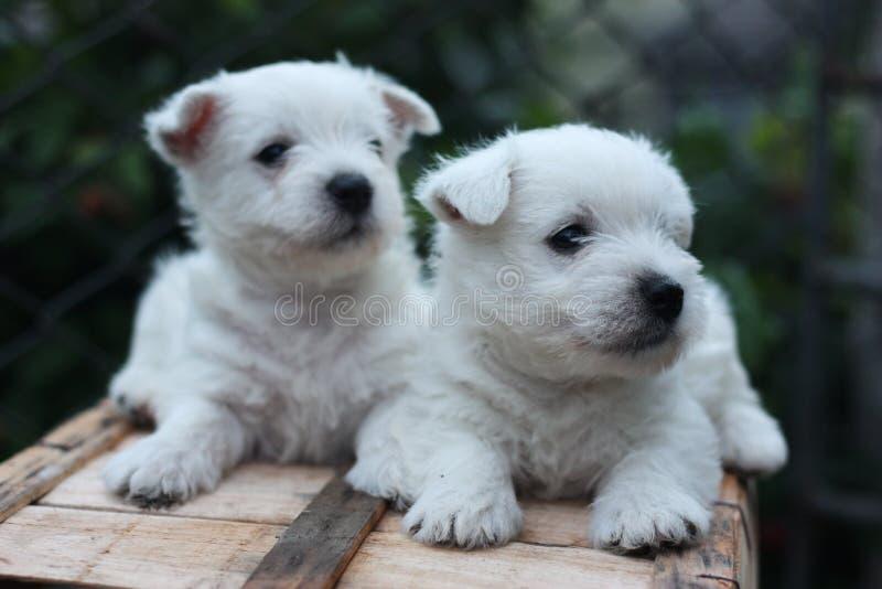 Due cuccioli del terrier bianco di altopiano ad ovest fotografia stock