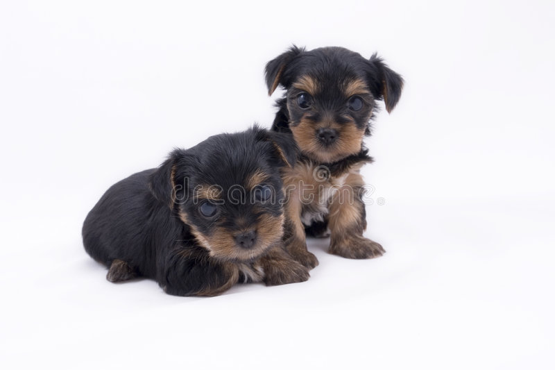 Download Due Cuccioli Del Terrier Di Yorkshire Fotografia Stock - Immagine di cute, poco: 3882430