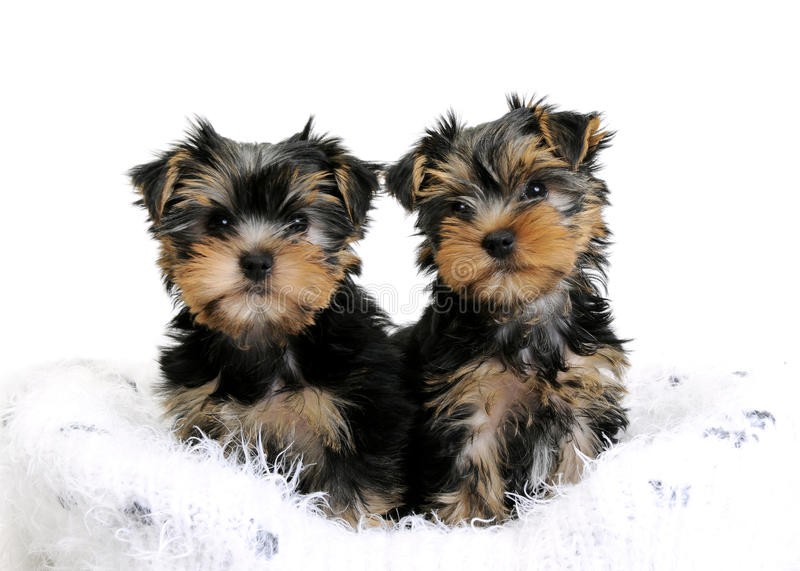 Due cuccioli dell'Yorkshire terrier fotografie stock