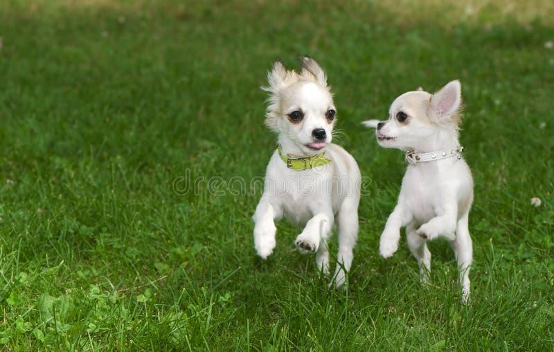 Due cuccioli della chihuahua che funzionano contemporaneamente fotografie stock libere da diritti