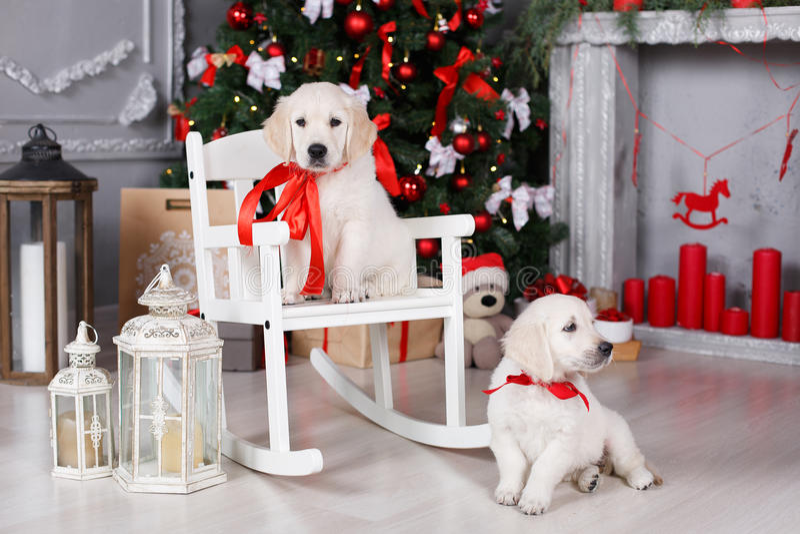 Due cuccioli di golden retriever si avvicinano all'albero di Natale con i regali immagini stock