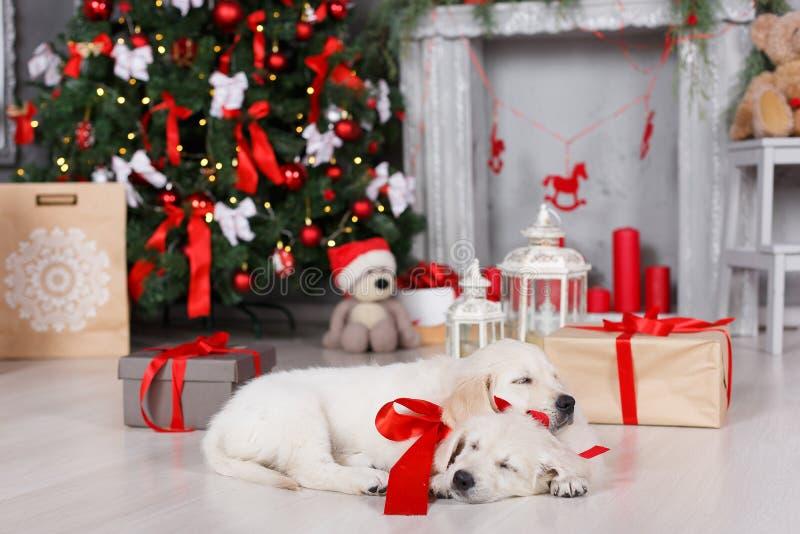 Due cuccioli di golden retriever si avvicinano all'albero di Natale con i regali fotografia stock libera da diritti