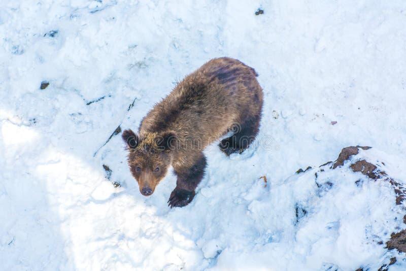 Due cuccioli di orso che giocano nella neve, negli alberi alti e nei cuccioli gay ruzzolanti fotografie stock libere da diritti