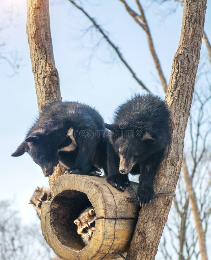 Due cuccioli di orso giocano in un albero con i procioni, procioni fuggiti con legno dagli orsi fotografia stock libera da diritti
