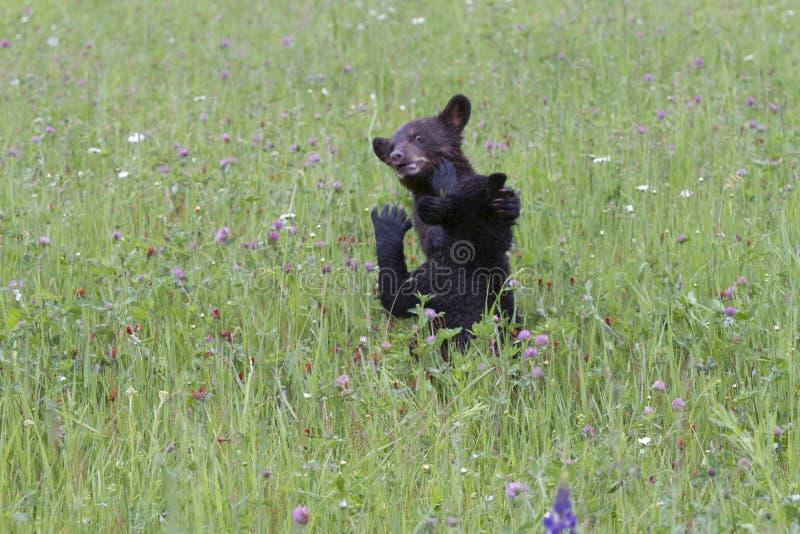 Due cuccioli di orso nero che giocano nei Wildflowers immagine stock libera da diritti