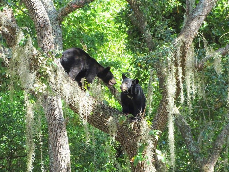 Due cuccioli di orso nero che giocano in un albero fotografia stock