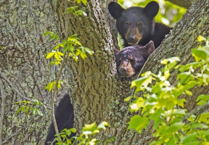Due cuccioli di orso nero nelle forcelle di un albero fotografie stock