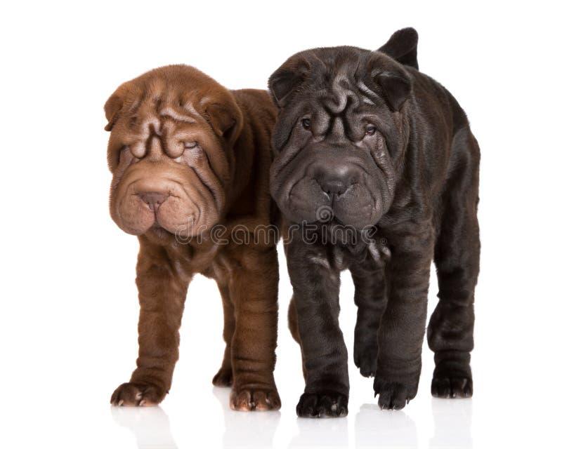 Due cuccioli di sharpei immagine stock libera da diritti