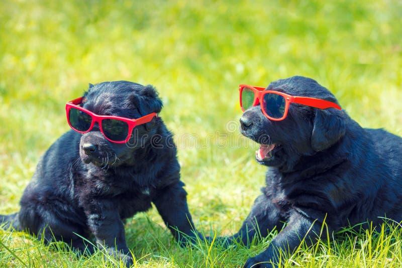 Due cuccioli divertenti di labrador retriever che indossano gli occhiali da sole fotografie stock