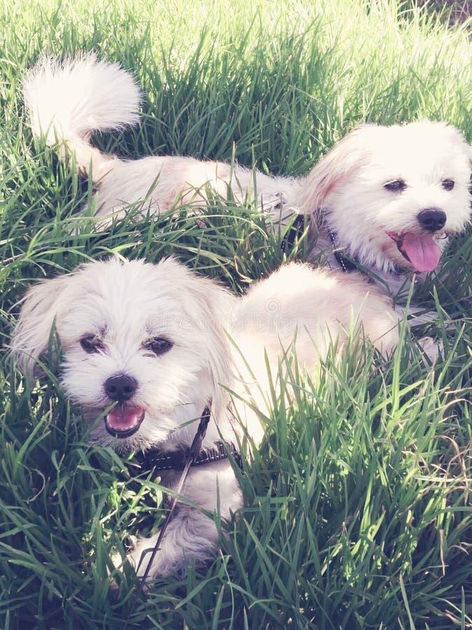 Due cuccioli in erba lunga immagine stock