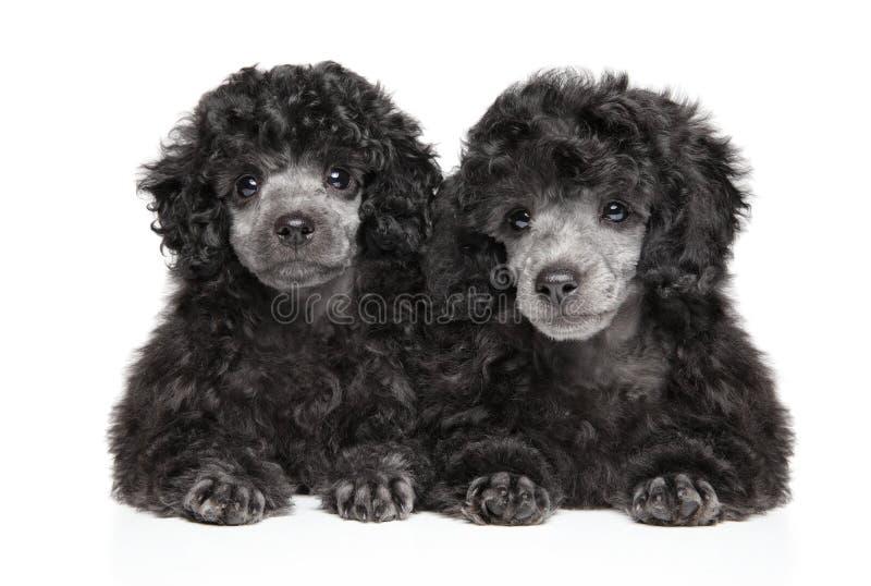 Due cuccioli grigi di Toy Poodle su fondo bianco fotografia stock libera da diritti