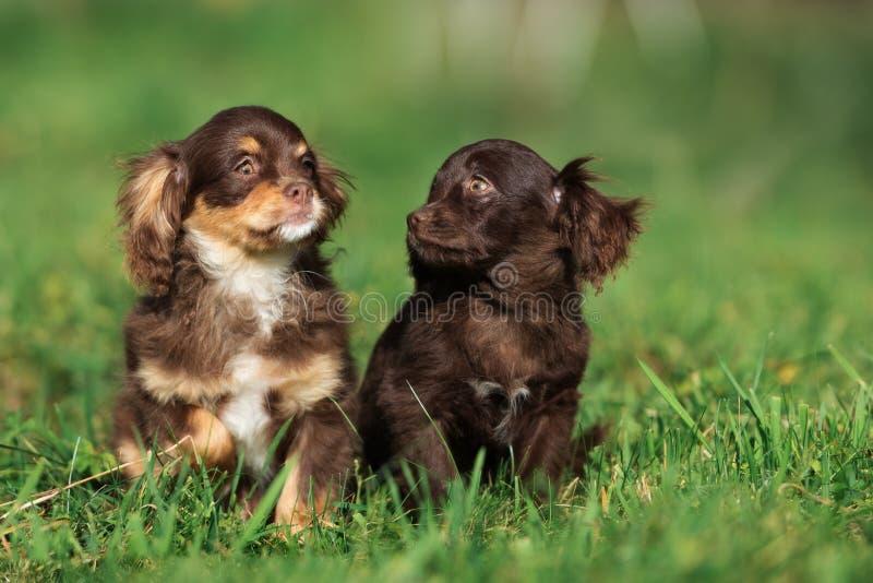 Due cuccioli marroni adorabili che posano sull'erba fotografia stock libera da diritti