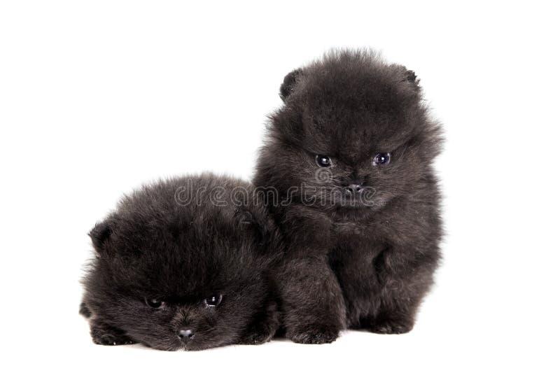 Due cuccioli pomeranian su bianco fotografie stock
