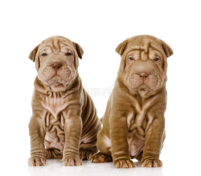 Due cuccioli shar di pei che esaminano macchina fotografica fotografia stock