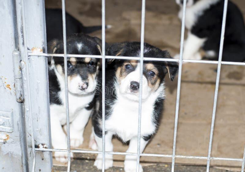 Due cuccioli stanno guardando dalla gabbia del riparo fotografia stock