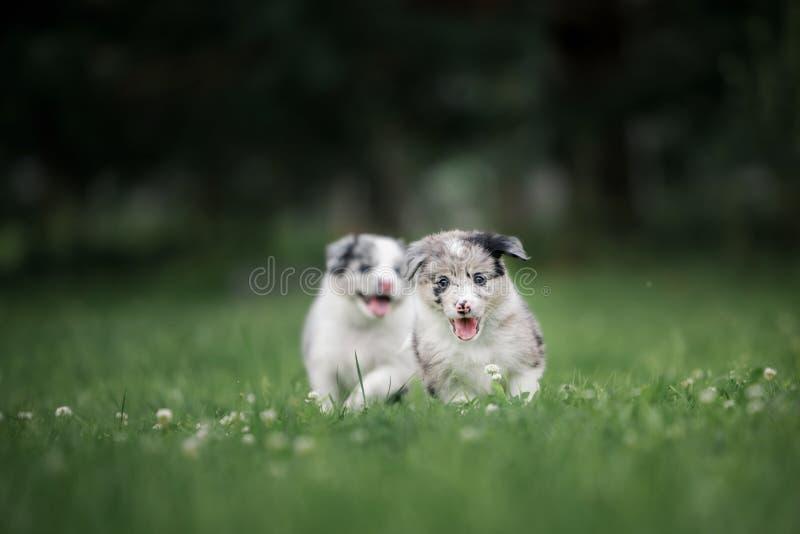 Due cucciolo border collie che si siede accanto all'erba immagine stock