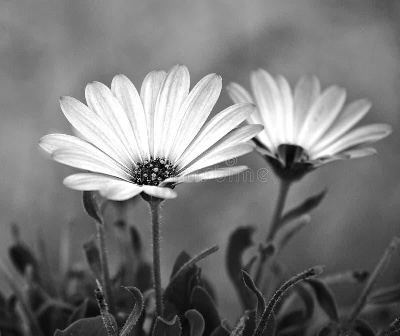 Due da due - margherite della gerbera in un giardino - bianchi e neri immagine stock libera da diritti