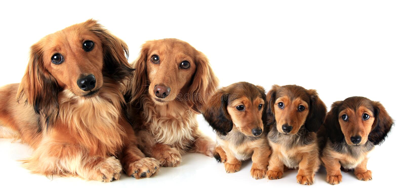 Due dachshunds Longhair fotografie stock