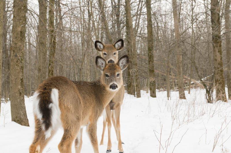 Due deers fotografia stock