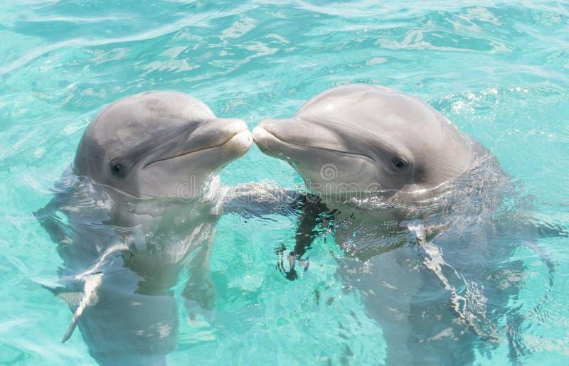 Due delfini bacianti fotografia stock