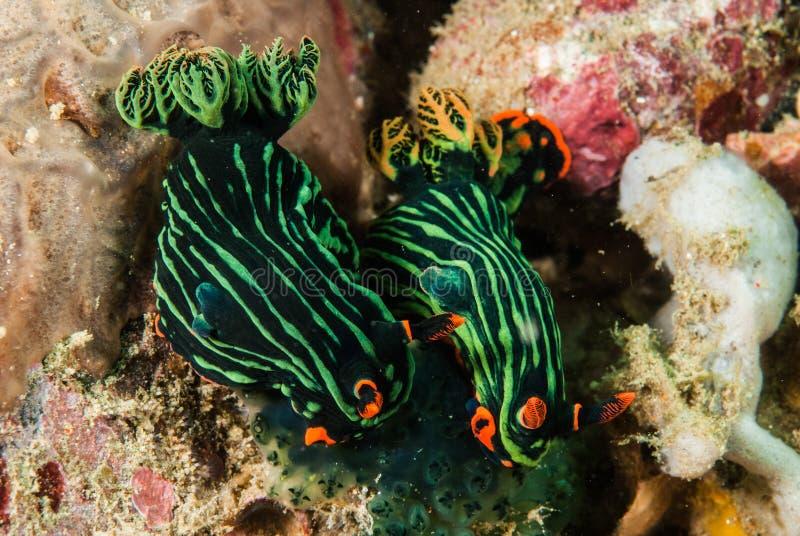 Due di nudibranch a Ambon, Maluku, foto subacquea dell'Indonesia immagine stock libera da diritti
