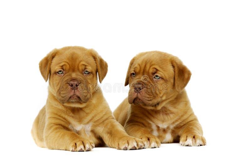 Due Dogue De Boudeux Puppies hanno posto isolato su un fondo bianco fotografia stock libera da diritti