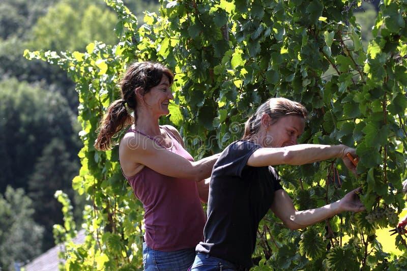 Due donne che raccolgono l'uva fotografia stock libera da diritti