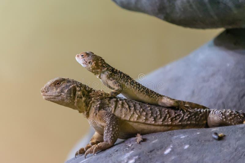 Due earless, lucertole coperte di spine, laterali-blotched e cornute dalla famiglia del Lanthanotidae nello zoo di Praga, repubbl fotografia stock