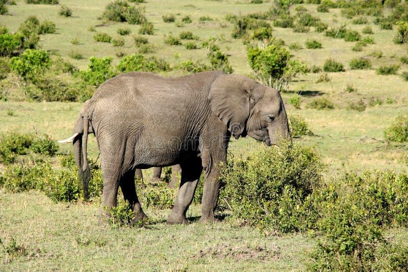 Due elefanti che mangiano i cespugli nel Kenya, Africa fotografia stock