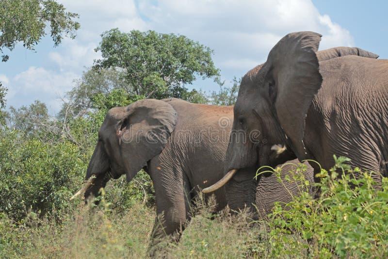 Due elefanti che pascono nel parco nazionale di Kruger, Sudafrica fotografia stock