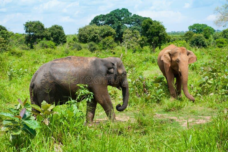Due elefanti selvaggi immagini stock libere da diritti